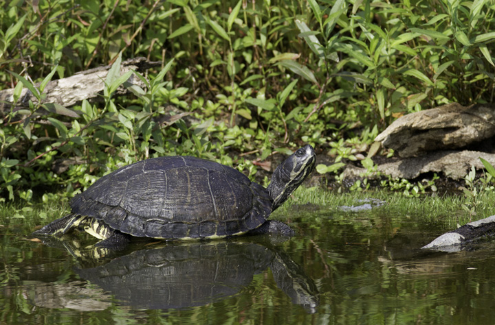A Yellow-bellied Slider on the Outer Banks, North Carolina (5/30/2011). Photo by Bill Hubick.