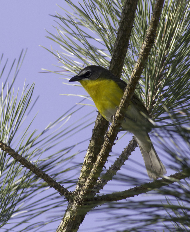 A Yellow-breasted Chat sings from high in a loblolly in the Nassawango area of Wicomico Co., Maryland (5/11/2011). This is definitely among the most entertaining species to watch peform. With each minute spent observing, your certainty that this can't be a warbler increases. Photo by Bill Hubick.