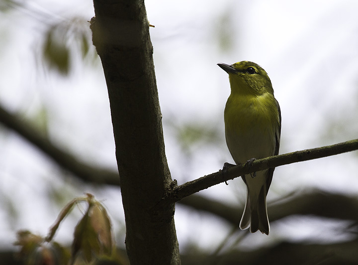 A Yellow-throated Vireo in Calvert Co., Maryland (4/23/2011). Photo by Bill Hubick.