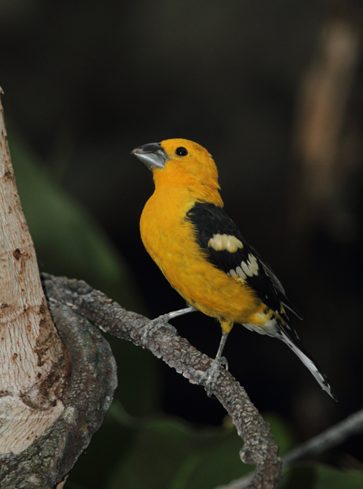 Yellow Grosbeak - Rainforest exhibit at the National Aquarium (12/31/2009). Photo by Bill Hubick.