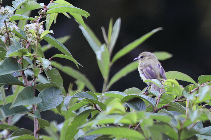 A Yellow Tyrannulet outside of El Valle, Panama (7/11/2010). Photo by Bill Hubick.