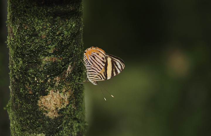 A Zebra Beauty (<em>Tigridia acesta</em>) near El Valle, Panama (7/11/2010). Photo by Bill Hubick.