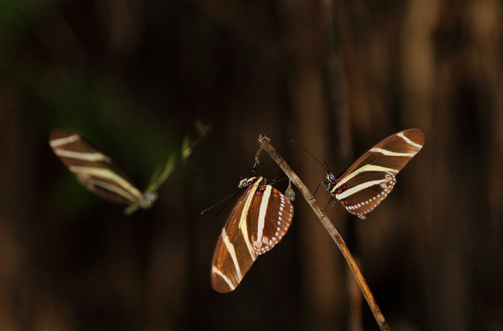 Zebra Longwings gathering to roost near El Valle, Panama (7/10/2010). Photo by Bill Hubick.