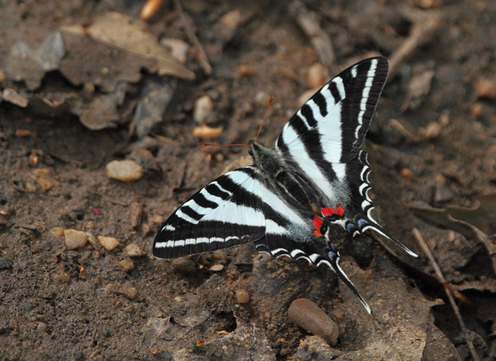 A Zebra Swallowtail in Prince George's Co., Maryland (4/8/2010). Photo by Bill Hubick.